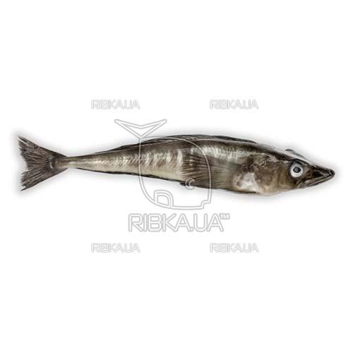 Ледяная рыба (щуковидная белокровка, обыкновенная белокровная щука)