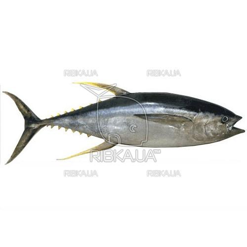 Желтоперый тунец (желтохвостый тунец, альбакор) с/м