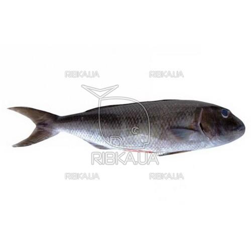 Сейшельский cибас (Зеленый априон) с/м
