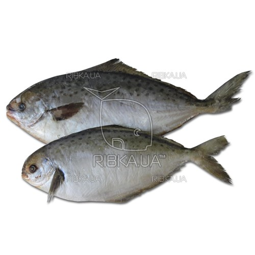 Пампанито (Звездчатая Масляная рыба) с/м с головой
