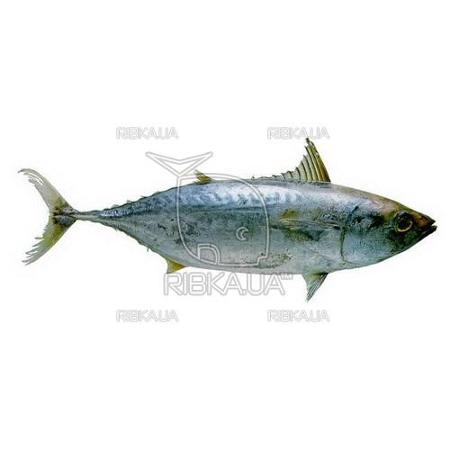 Малый тунец с/м